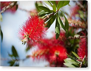 Bottle Brush Tree Canvas Print by Yurix Sardinelly