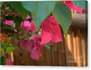 Bougainvillea  Canvas Print