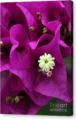 Florida Flowers Canvas Print - Bouganvillea Macro by Sabrina L Ryan