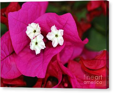Bouganvillea Canvas Print by Sabrina L Ryan