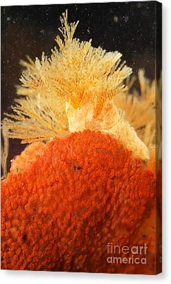 Bowerbanks Halichondria & Spiral-tufted Canvas Print by Ted Kinsman