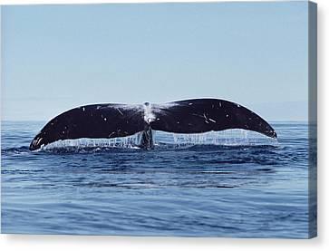 Bowhead Whale Off Baffin Island Canada Canvas Print