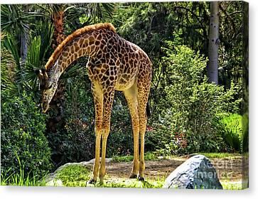 Bowing Giraffe Canvas Print by Mariola Bitner