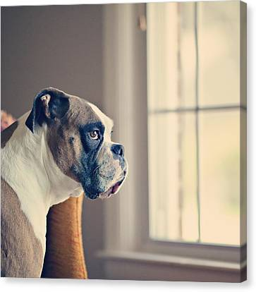 Boxer Dog Canvas Print by Laura Ruth
