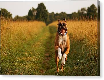 Boxer Dog Running Happily Through Field Canvas Print by Stephanie McDowell
