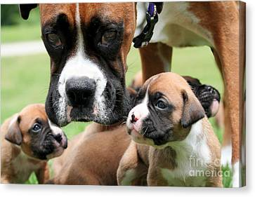 Boxer Mommy Watch Over Pups  Canvas Print by Renae Laughner
