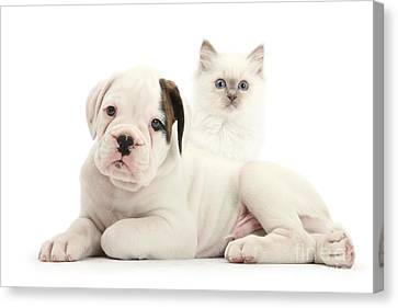 Boxer Puppy And Blue-point Kitten Canvas Print by Mark Taylor