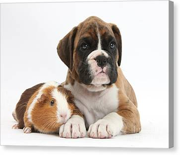 House Pet Canvas Print - Boxer Puppy And Guinea Pig by Mark Taylor