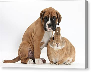 House Pet Canvas Print - Boxer Puppy And Netherland-cross Rabbit by Mark Taylor