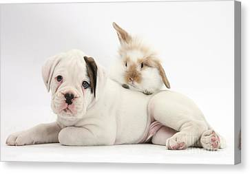 House Pet Canvas Print - Boxer Puppy And Young Fluffy Rabbit by Mark Taylor