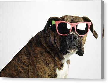 Boxer Wearing Sunglasses Canvas Print by Ron Nickel
