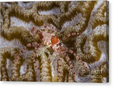 Boxing Crab In Raja Ampat, Indonesia Canvas Print by Todd Winner