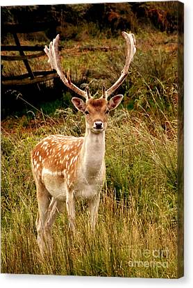 Wildlife Fallow Deer Stag Canvas Print by Linsey Williams