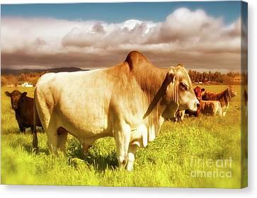 Brahma Bull And Harem Canvas Print by Gus McCrea