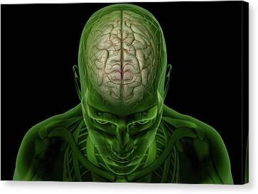 Brain Arteries Canvas Print by MedicalRF.com