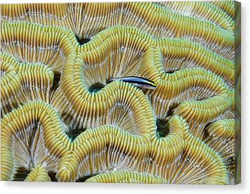 Brain Coral Canvas Print by Robin Wilson Photography