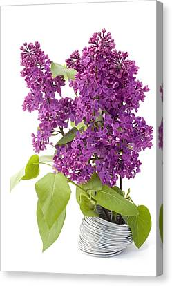 Branch Of A Lilac And Wire Canvas Print