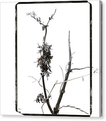 Branch Of Dried Out Flowers. Canvas Print by Bernard Jaubert