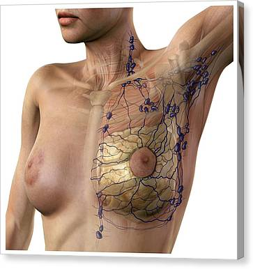 Breast Lymphatic System, Artwork Canvas Print by D & L Graphics