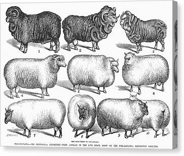 Breeds Of Sheep, 1876 Canvas Print by Granger