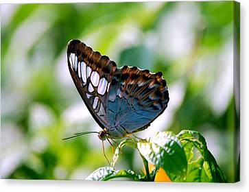 Canvas Print featuring the photograph Bright Blue Butterfly by Peggy Franz