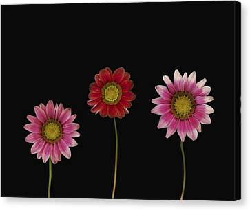 Bright Colorful Daisies Canvas Print by Deddeda