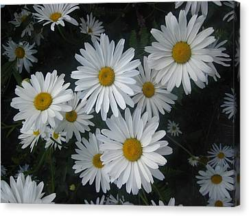 Canvas Print featuring the photograph Bright Eyed Daisys by Cheryl Perin
