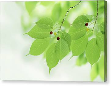 Bright Green Leaves Canvas Print by Imagewerks