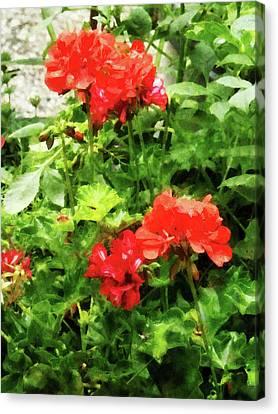 Bright Red Geraniums Canvas Print by Susan Savad