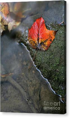 Bright Red Leaf Near A Stream Canvas Print by Chris Hill