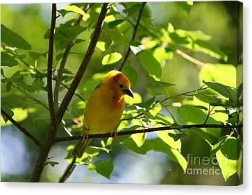 Bright Yellow Songbird Canvas Print by Christina A Pacillo