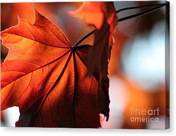 Brilliant Bronze Maple Leaf Canvas Print by Chris Hill