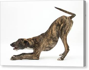 Brindle Lurcher Canvas Print by Mark Taylor