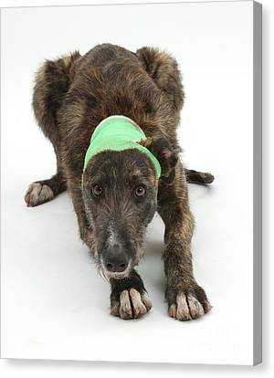 Brindle Lurcher Wearing A Bandage Canvas Print by Mark Taylor