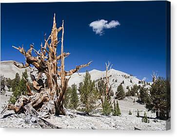 Bristlecone Pine - Pinus Longaeva Canvas Print