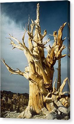 Bristlecone Pine Canvas Print by David Parker