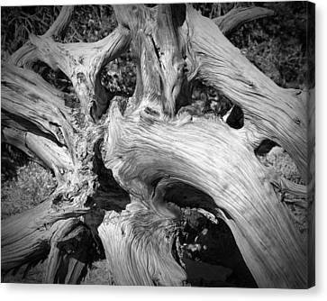Bristlecone Pine Roots White Mountains Ca Canvas Print by Troy Montemayor