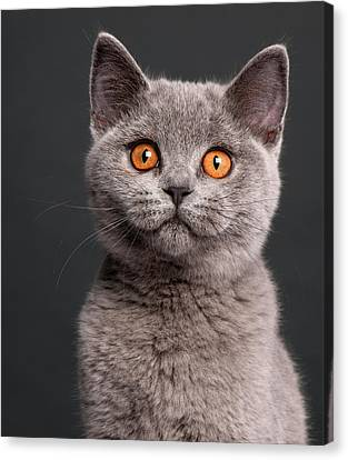 British Shorthair Kitten (3 Months Old) Canvas Print by Life On White