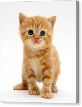 British Shorthair Red Tabby Kitten Canvas Print by Jane Burton