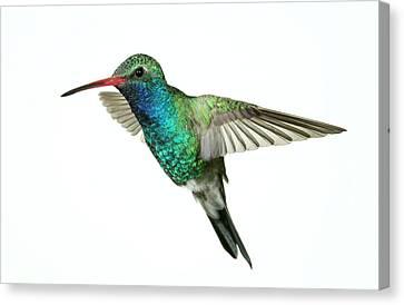 Broadbill Hummingbird  Canvas Print by Gregory Scott