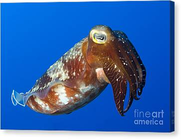 Broadclub Cuttlefish, Papua New Guinea Canvas Print by Steve Jones