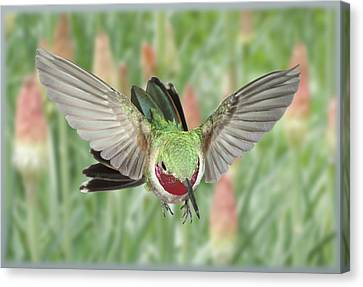Broadtail Hummingbird Male And Red Hot Poker Canvas Print by Gregory Scott