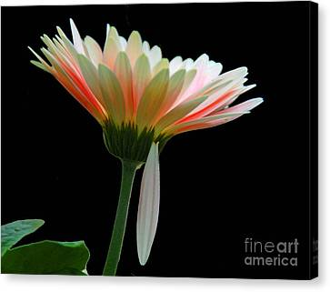 Canvas Print featuring the photograph Broken Daisy by Cindy Manero