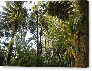 Bromeliad And Tree Ferns  Canvas Print