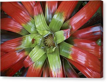 Bromeliad Flower Costa Rica Canvas Print