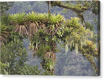 Bromeliad On A Rainforest Tree Costa Canvas Print