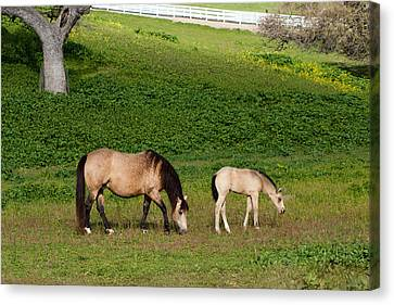 Broodmare With Her Foal Canvas Print by Dina Calvarese