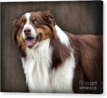 Canvas Print featuring the photograph Brown And White Border Collie Dog by Ethiriel  Photography