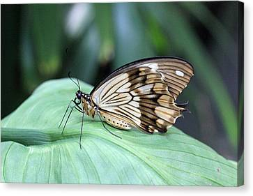 Brown And White Butterfly On Leaf Canvas Print by Becky Lodes