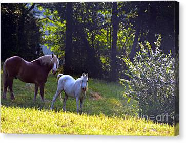 Brown And White Horse-19 Canvas Print by Eva Thomas